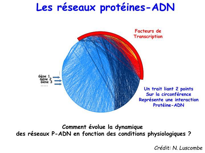 Les réseaux protéines-ADN