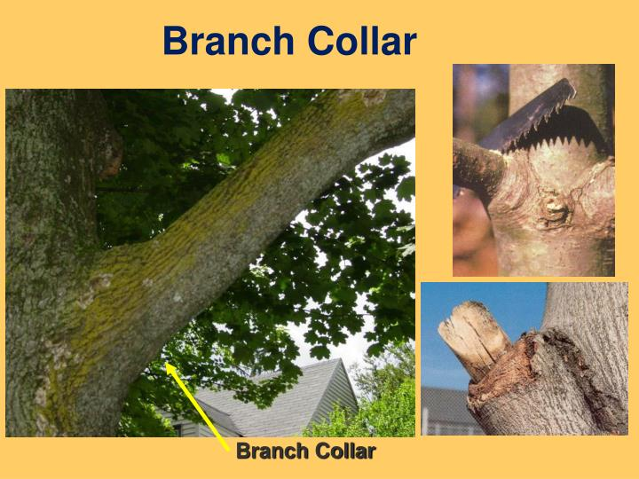 Branch Collar