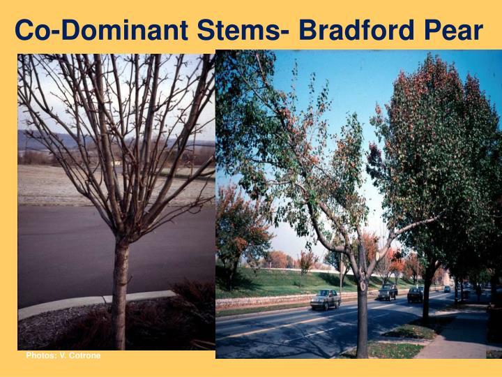 Co-Dominant Stems- Bradford Pear