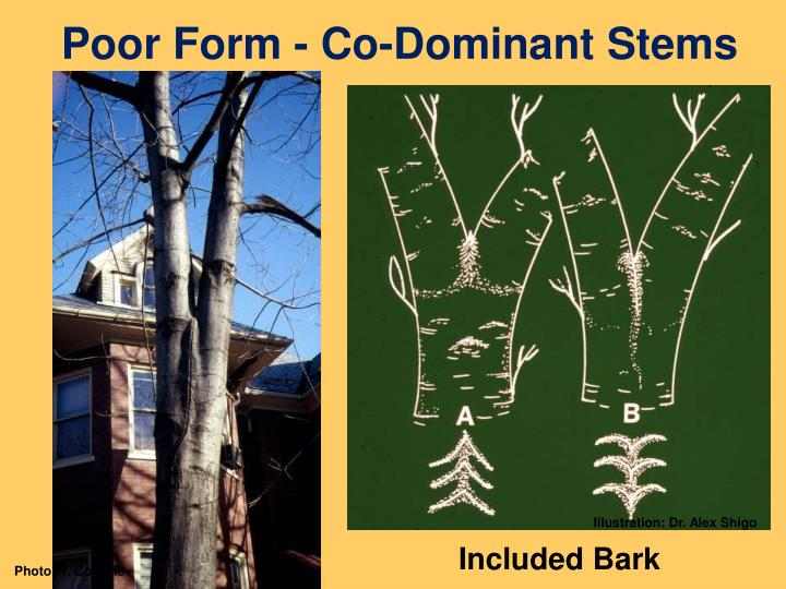 Poor Form - Co-Dominant Stems