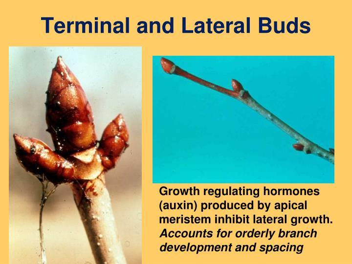 Terminal and Lateral Buds