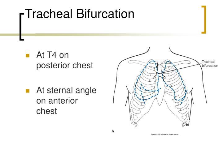 Tracheal Bifurcation