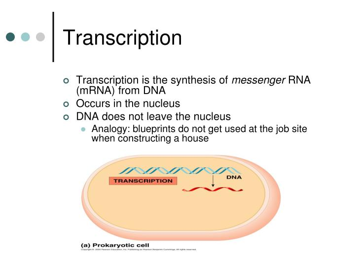 Ppt 1 the information carried by a dna molecule is in a its transcription malvernweather Gallery