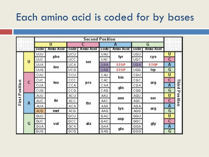 Each amino acid is coded for by bases