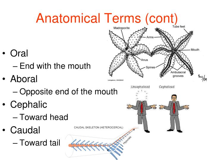 Anatomical Terms (cont)
