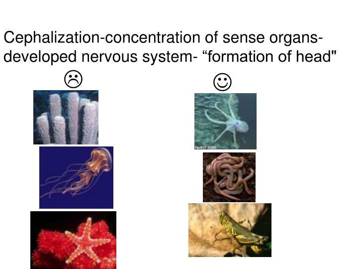 Cephalization-concentration of sense organs- developed nervous