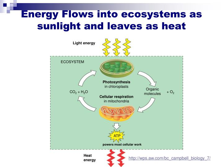 Energy flows into ecosystems as sunlight and leaves as heat