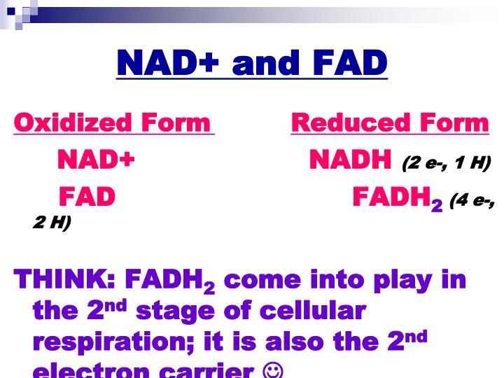 NAD+ and FAD