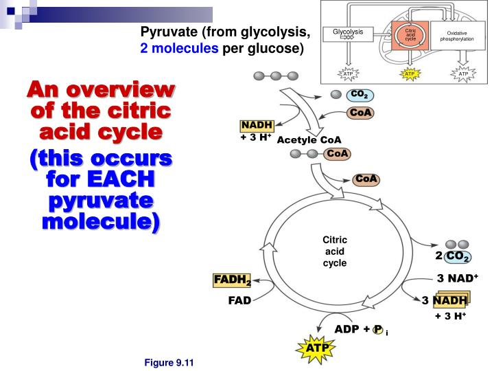 Pyruvate (from glycolysis,