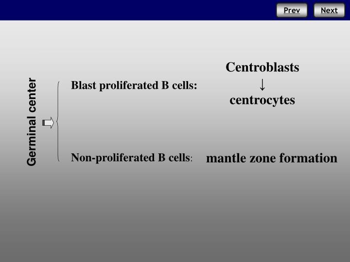 Centroblasts