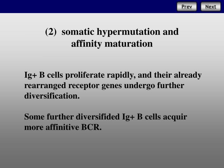 (2)  somatic hypermutation and