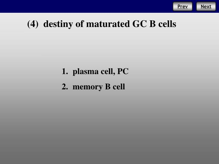 (4)  destiny of maturated GC B cells