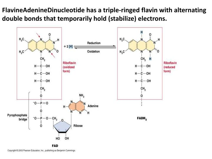 FlavineAdenineDinucleotide has a triple-ringed flavin with alternating double bonds that temporarily hold (stabilize) electrons.
