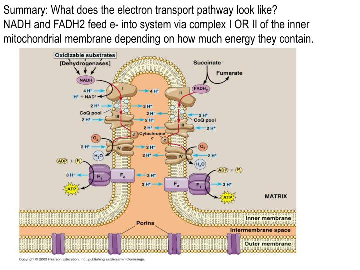Summary: What does the electron transport pathway look like?