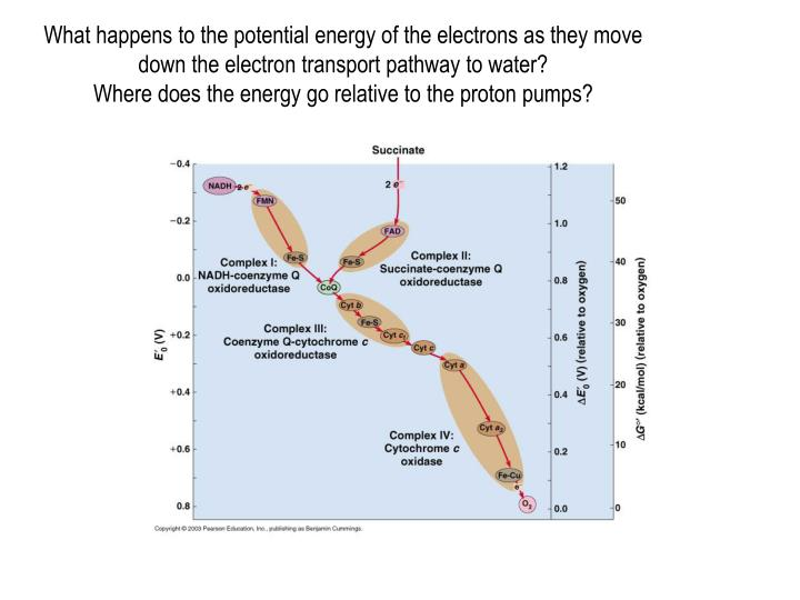 What happens to the potential energy of the electrons as they move down the electron transport pathway to water?