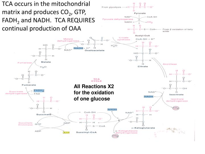 TCA occurs in the mitochondrial matrix and produces CO