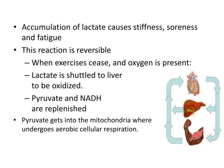 Accumulation of lactate causes stiffness, soreness and fatigue