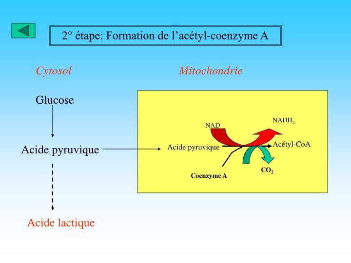 2° étape: Formation de l'acétyl-coenzyme A