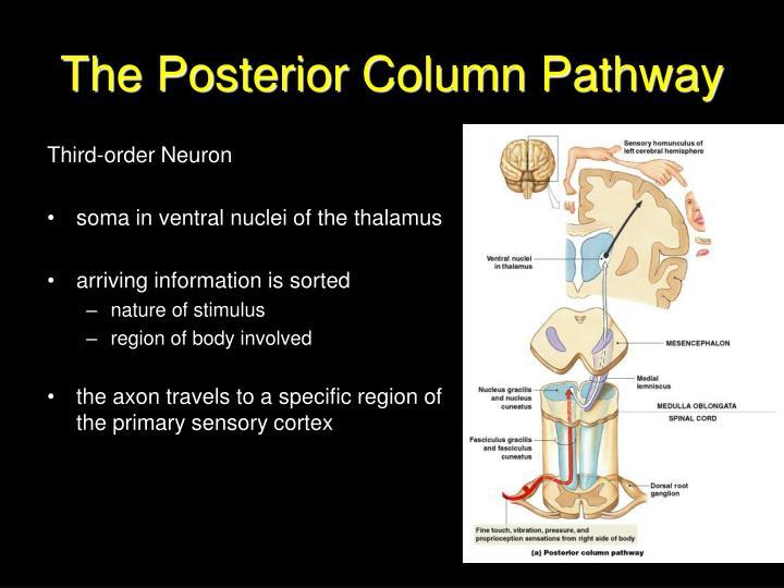 The Posterior Column Pathway