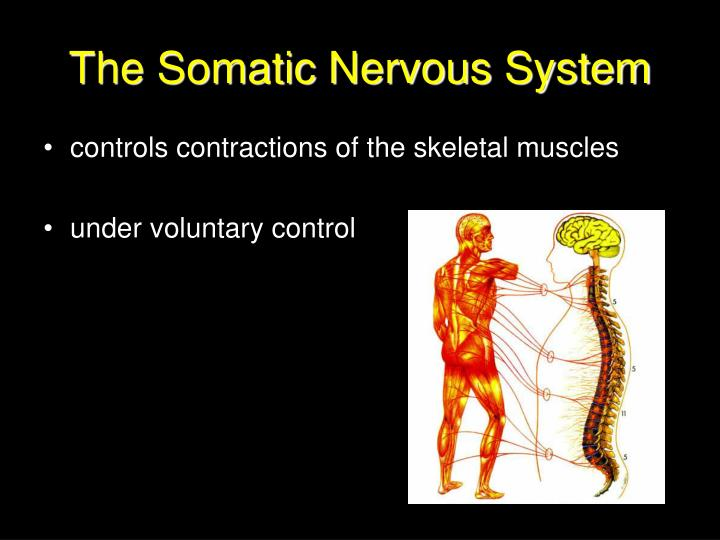 The Somatic Nervous System