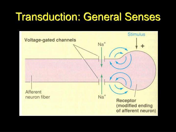 Transduction: General Senses