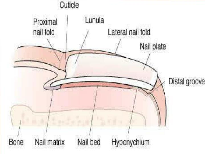 PPT - The most commonly reported nail conditions, seen by ...
