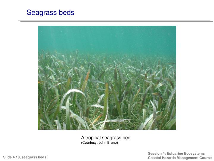 Seagrass beds