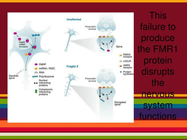 This failure to produce the FMR1 protein disrupts the nervous system functions