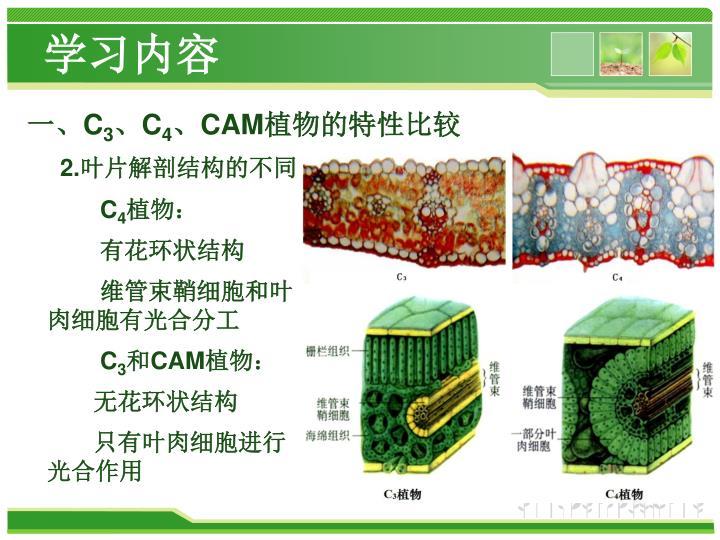 光合作用 C 3 、 C 4 与 CAM 植物的光合 特征 - PowerPoint PPT Presentation