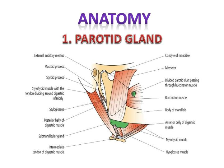Ppt Salivary Gland Disorders Powerpoint Presentation Id6352793