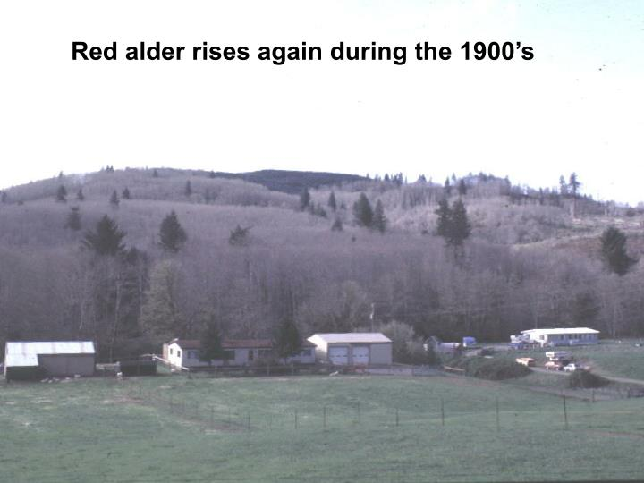 Red alder rises again during the 1900's