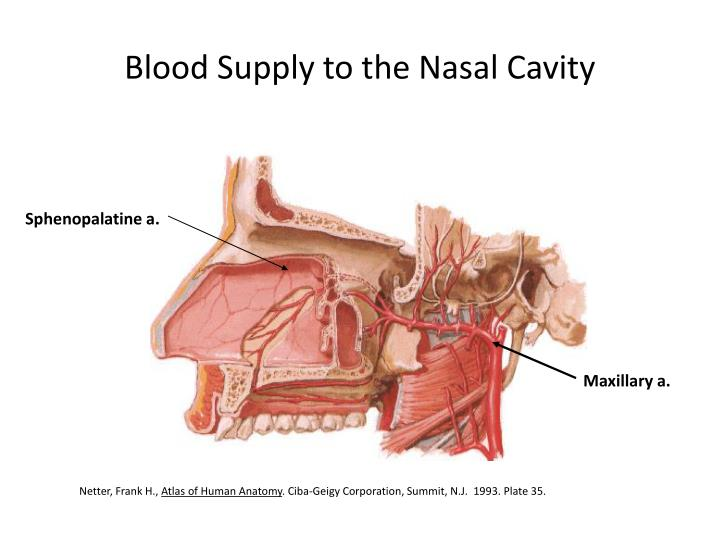 Blood Supply to the Nasal Cavity