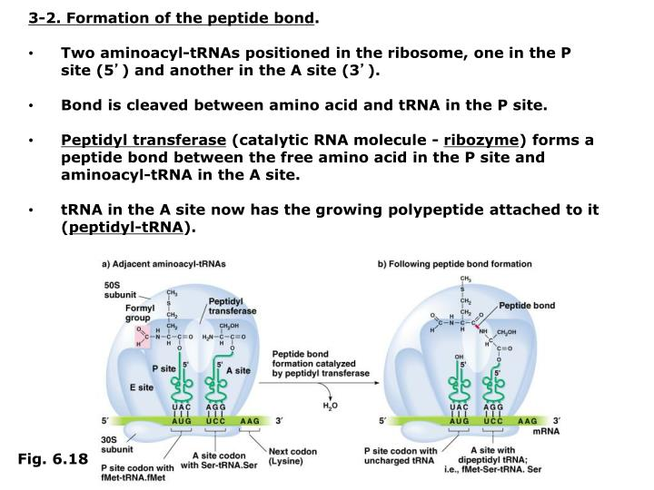 3-2. Formation of the peptide bond
