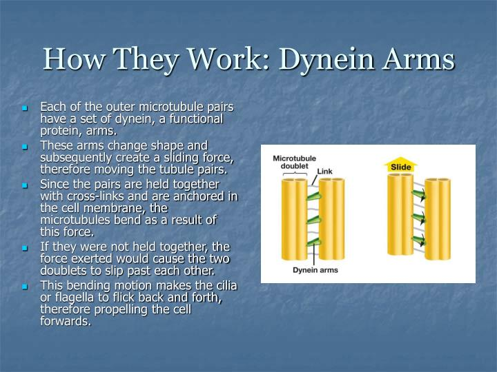 How They Work: Dynein Arms