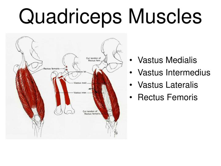 PPT - The Thigh and Hip Muscles Anatomy, Injuries and Assessment ...