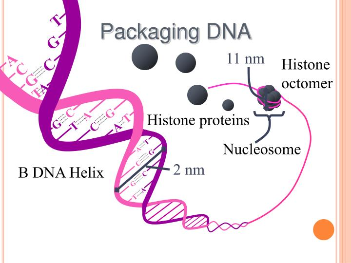 dna packaging Learn how dna packaging makes it possible to fit approximately seven feet of dna inside a single cell you'll see how chromosome condensation helps cells get ready for cell division.
