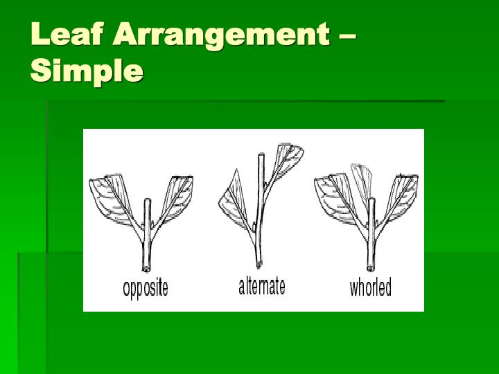 Leaf Arrangement – Simple