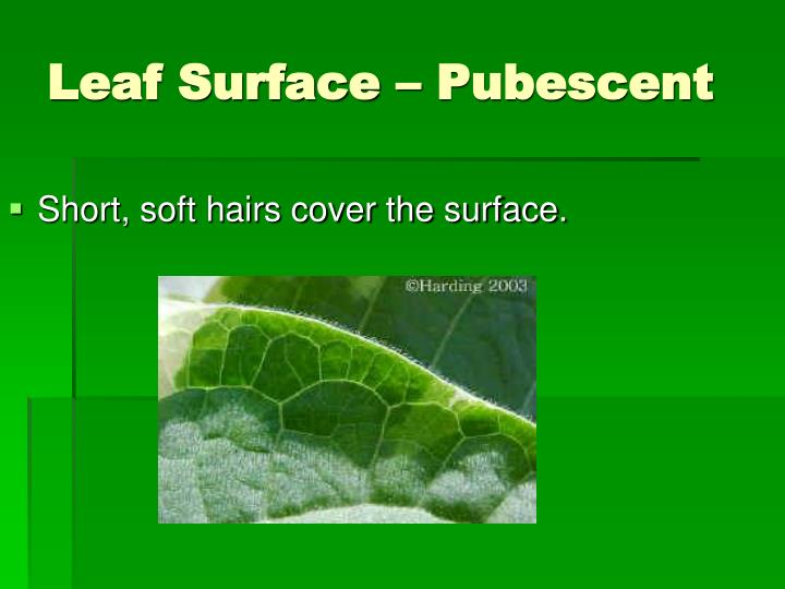 Short, soft hairs cover the surface.