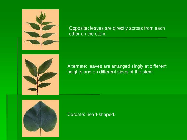 Opposite: leaves are directly across from each other on the stem.