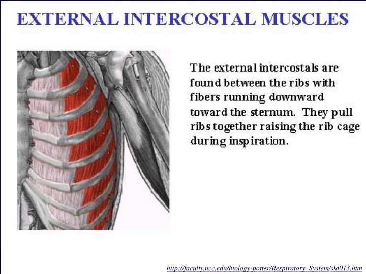 http://faculty.ucc.edu/biology-potter/Respiratory_System/sld013.htm