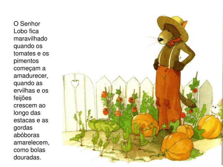 O Senhor Lobo fica maravilhado quando os tomates e os pimentos começam a amadurecer, quando as ervilhas e os feijões crescem ao longo das estacas e as gordas abóboras amarelecem, como bolas douradas.