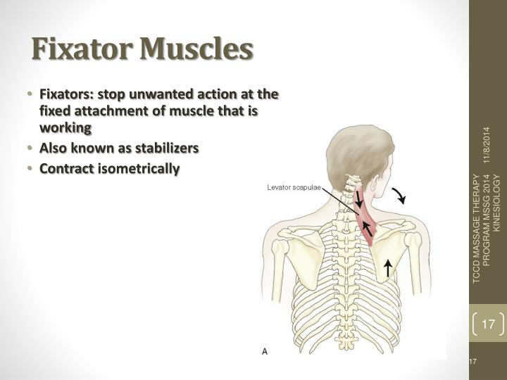 Ppt Roles Of Muscles Powerpoint Presentation Id6387031