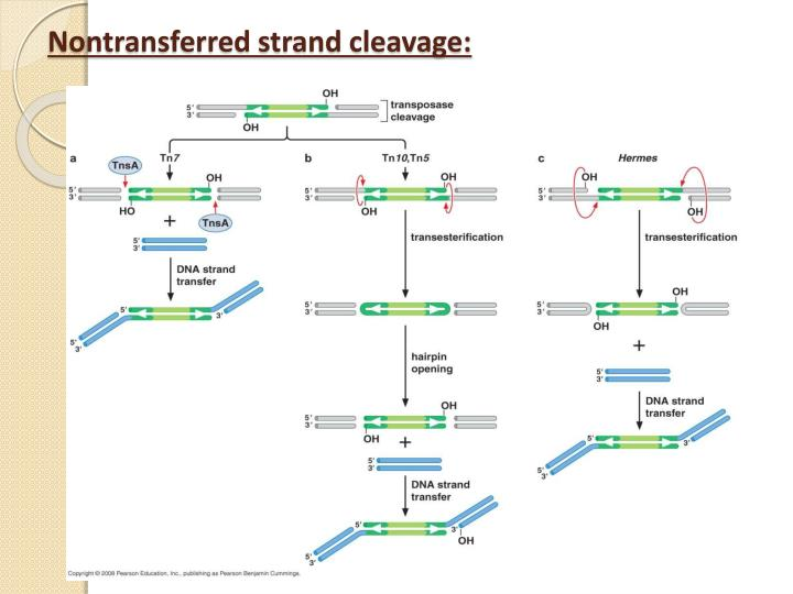 Nontransferred strand cleavage:
