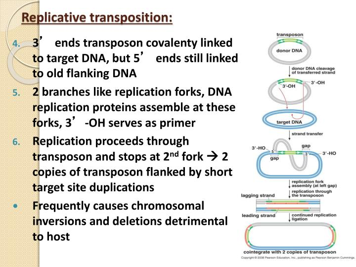 Replicative transposition:
