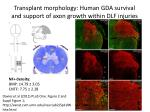 transplant morphology human gda survival and support of axon growth within dlf injuries