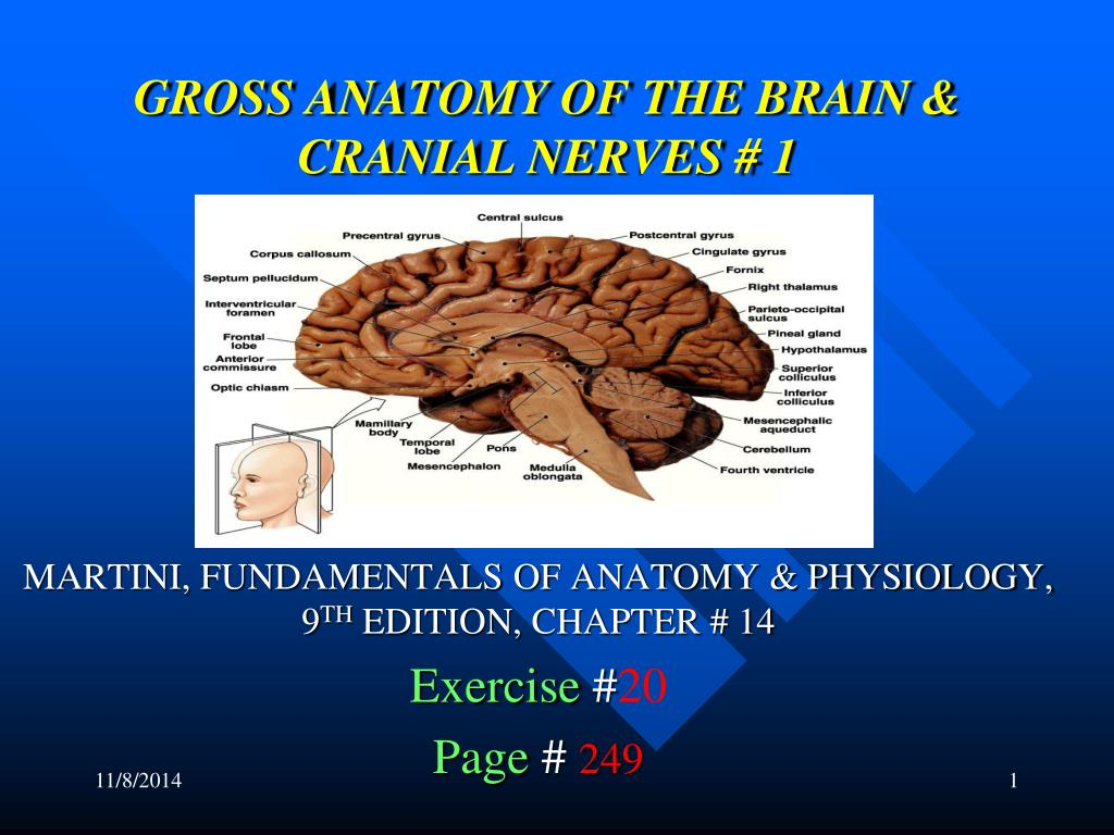 PPT - GROSS ANATOMY OF THE BRAIN & CRANIAL NERVES # 1 PowerPoint ...