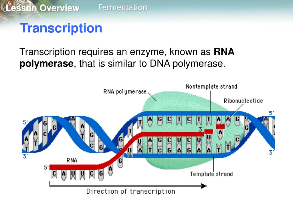 PPT - 13.1 RNA PowerPoint Presentation, free download - ID ...
