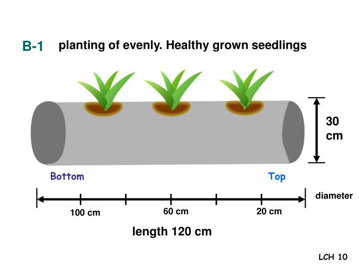 planting of evenly. Healthy grown seedlings