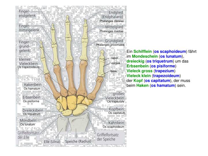 Phalanges distales