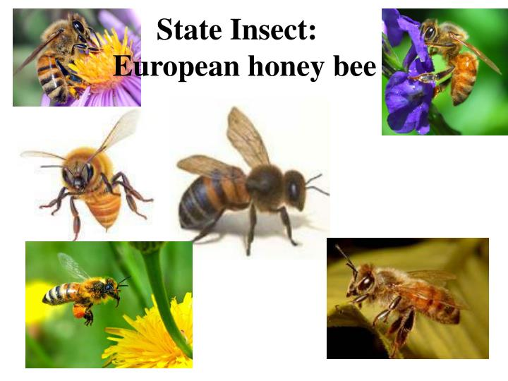 PPT - The State of New Jersey PowerPoint Presentation - ID ...Louisiana State Insect
